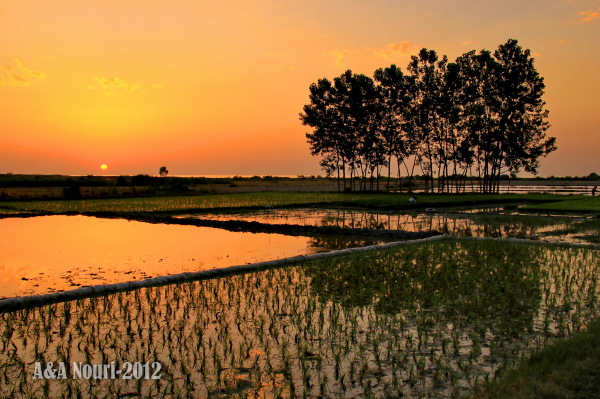 sunset reflection on rice field
