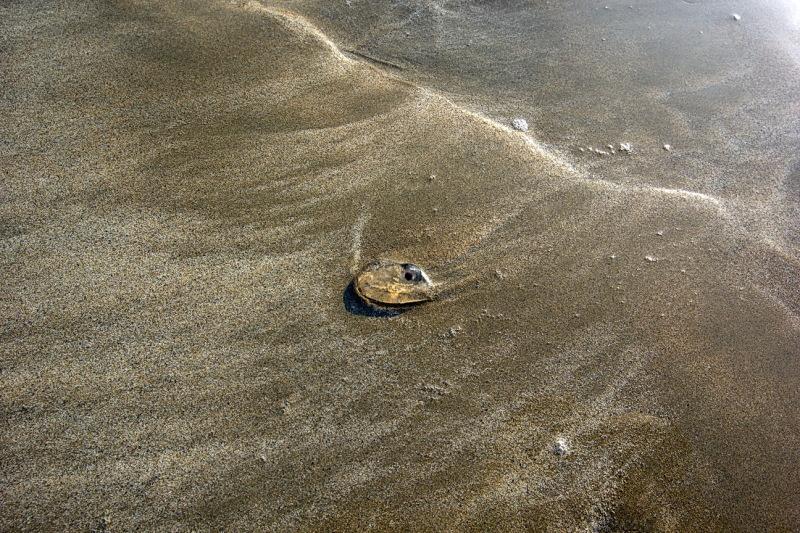 salp on the beach