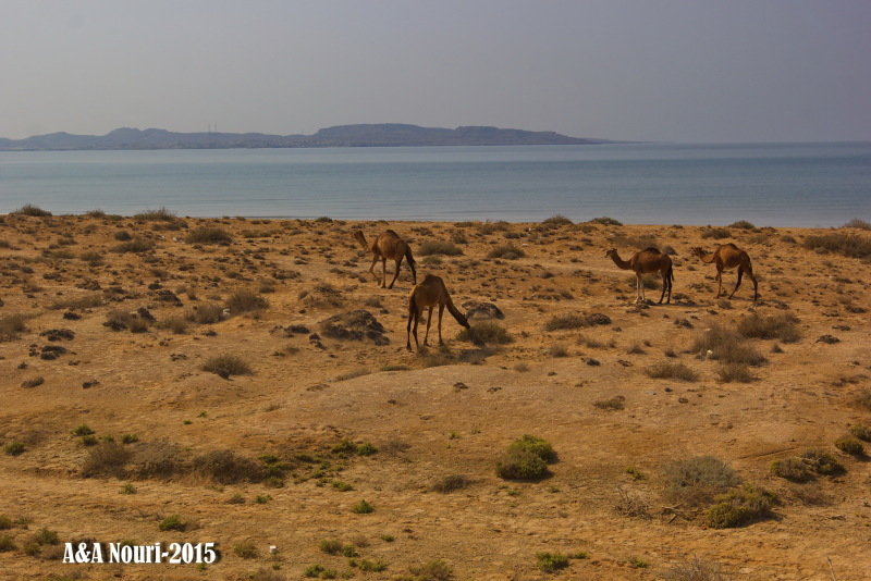 Camels near the sea