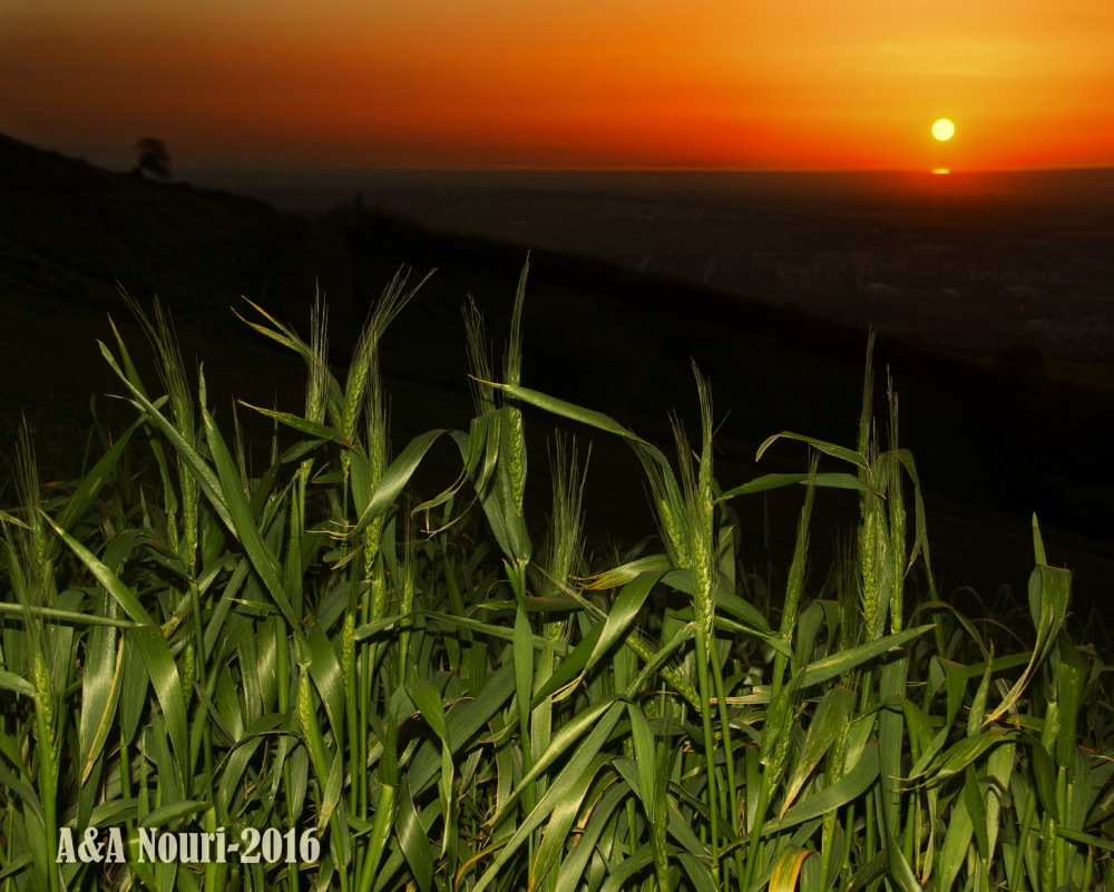 young wheat and elderly sun