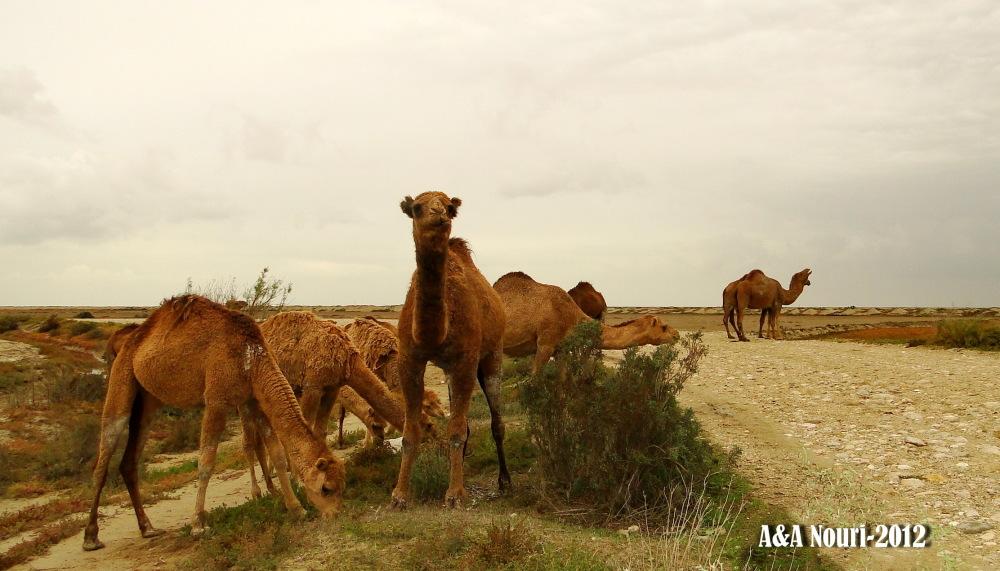 camels land