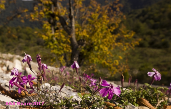 violet focus