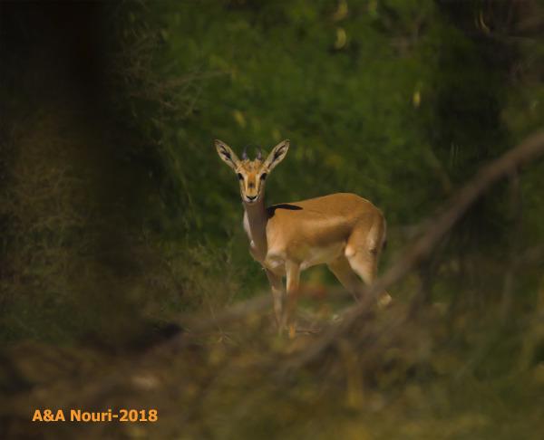 #Iran #nature #kish #deer