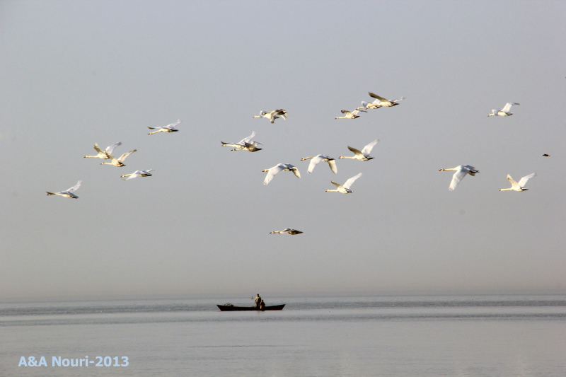 swans and fishermen story