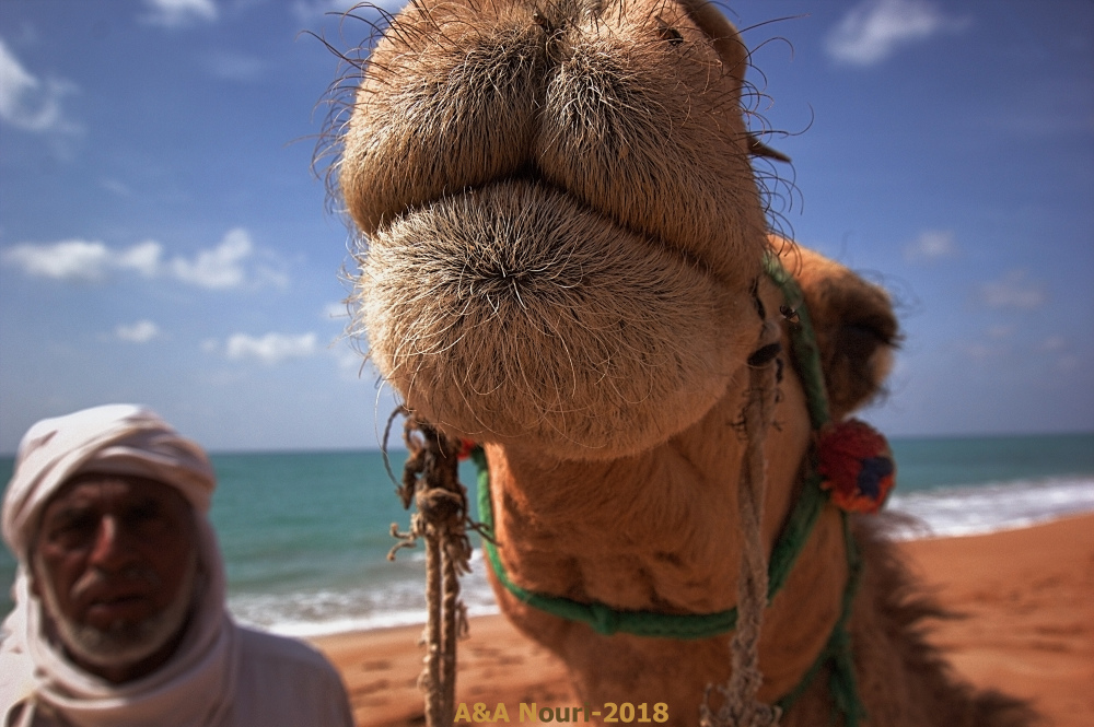 Camel and the owner