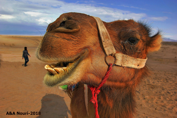 Hungry camel!