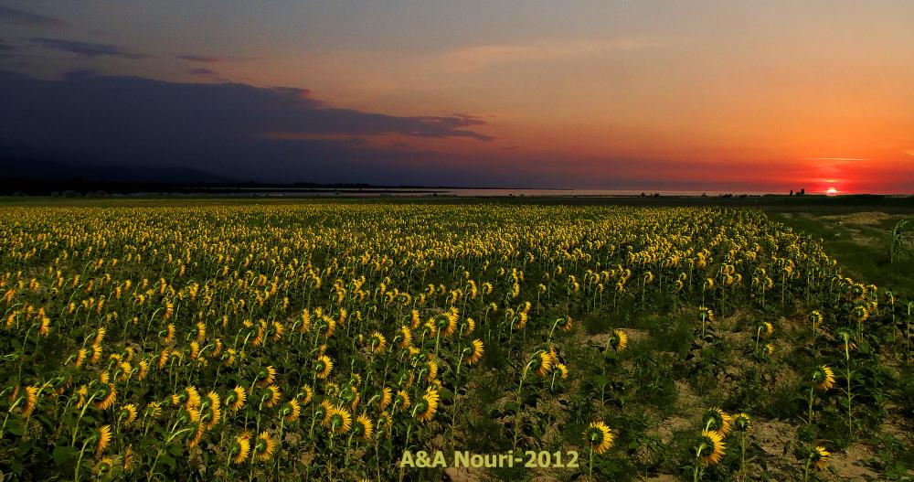 sunset on sunflowers field