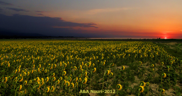 sunset on sunflowers field