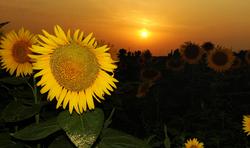 suns colony