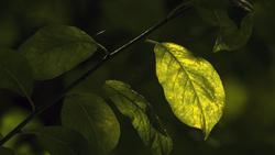 bright leaf