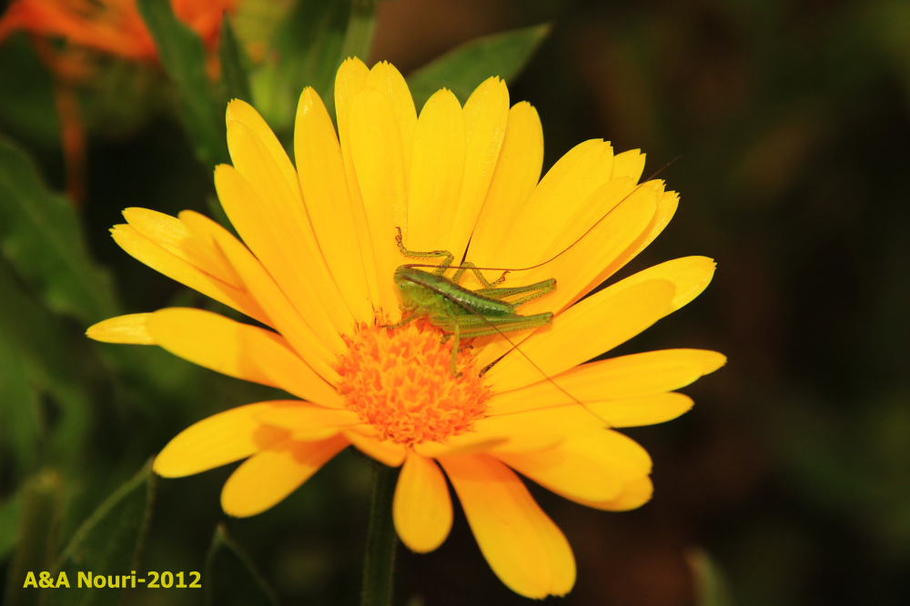 grasshopper and flower