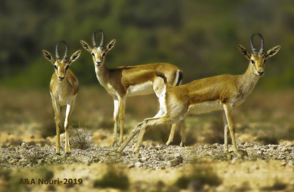 Persian goitered gazelle