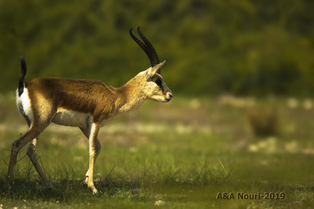 persian deer