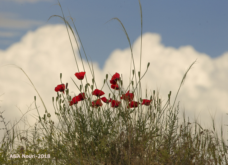 poppies in wind