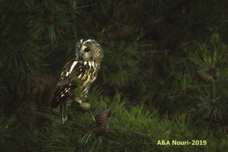 Owl in twilight