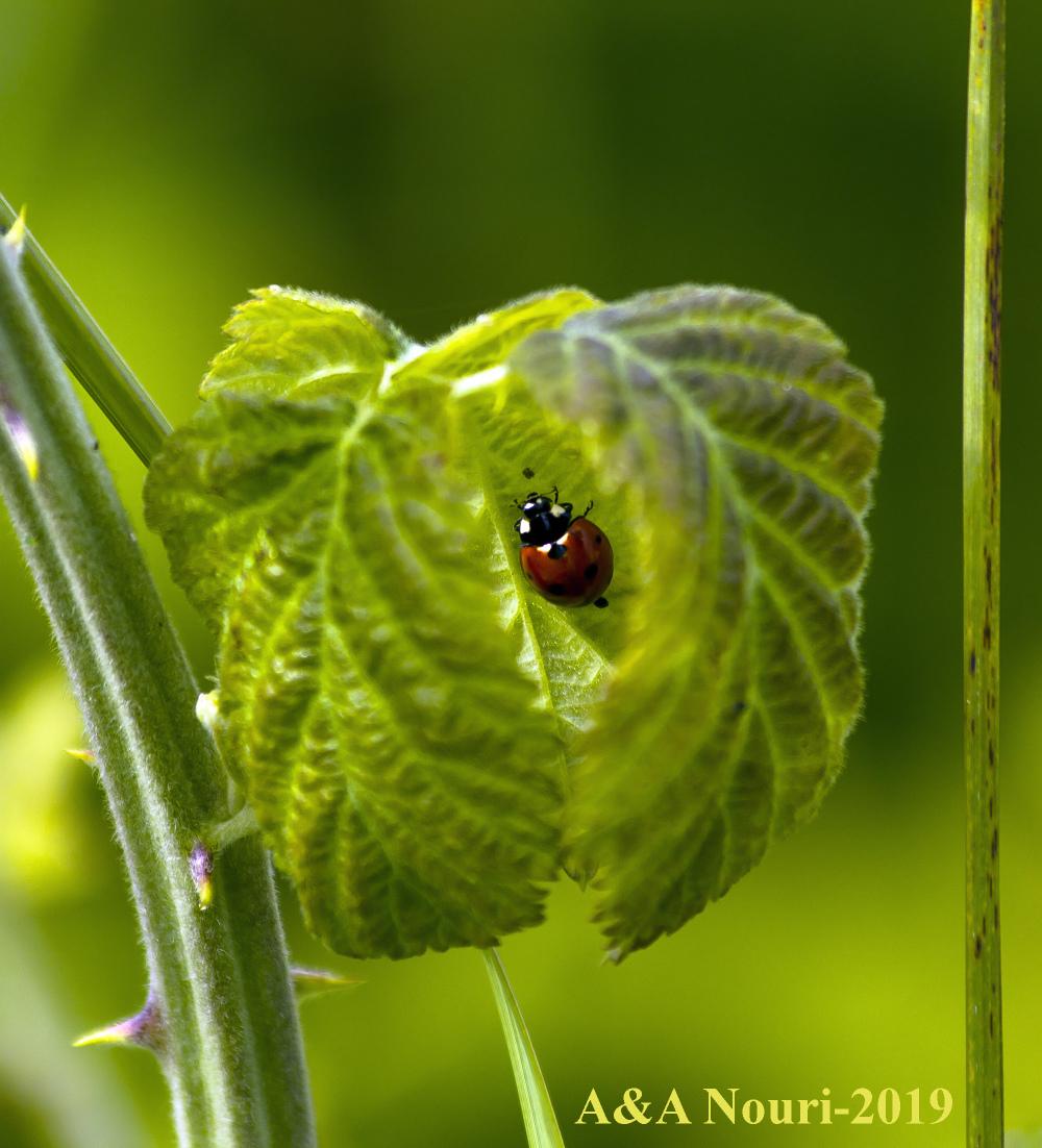 hiding ladybug