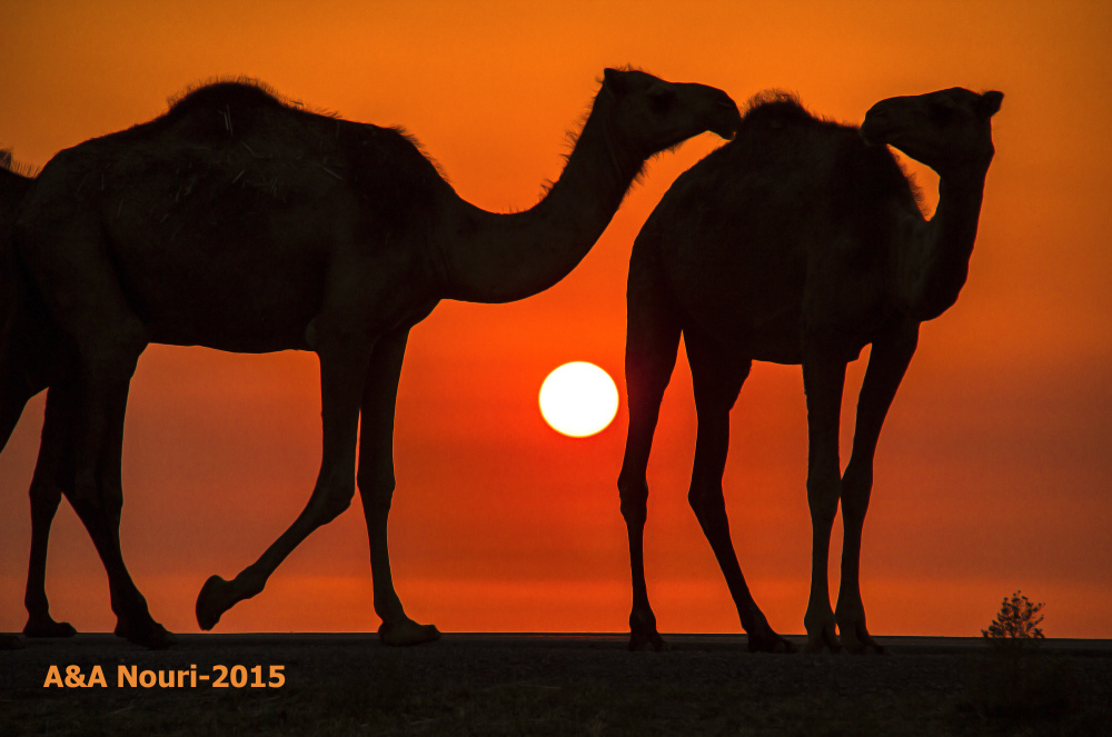 camels friendship