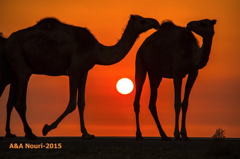 camels friendship