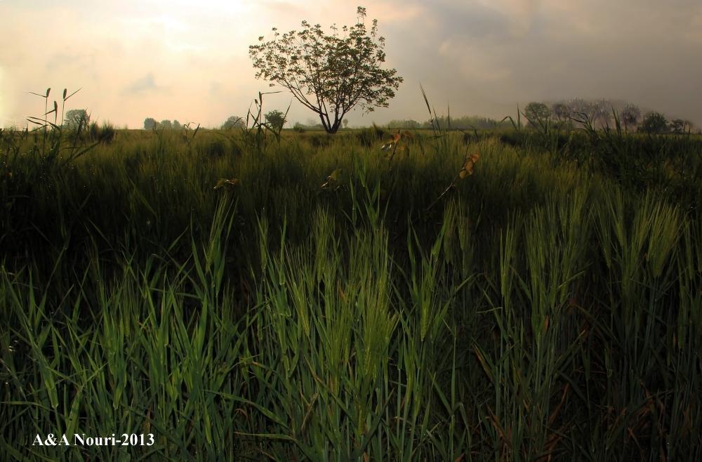 #Iran #nature bandargaz wheat field