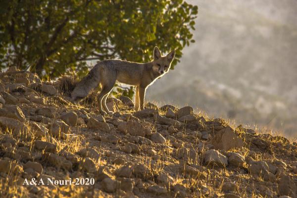 Zagros fox