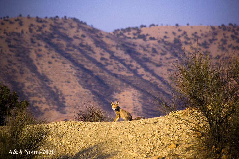 Iran wildlife ilam fox zagros