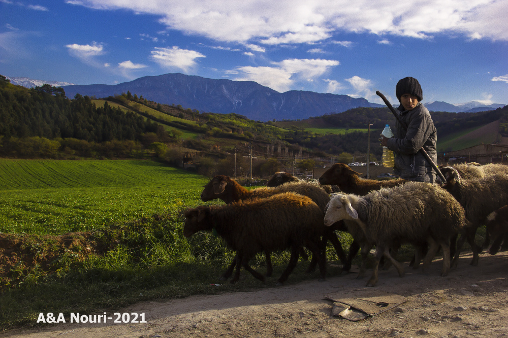 childhood sheep guarding