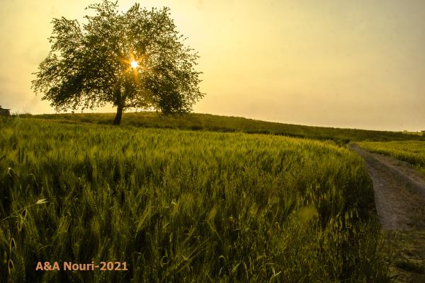 sun and wheat field