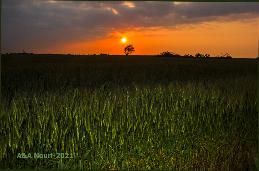 sunset of wheat fields