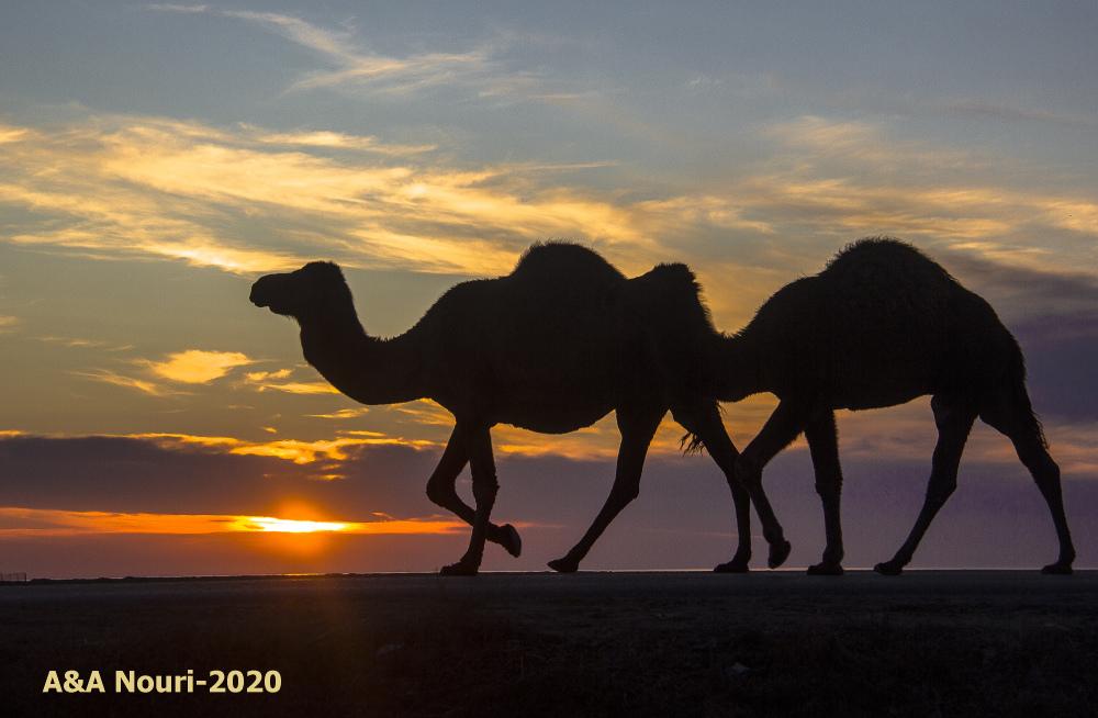 eight-foot camel  :)