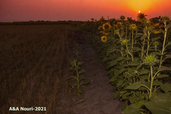 sunflowers exhibition