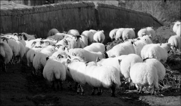 Rounding up sheep in scotland