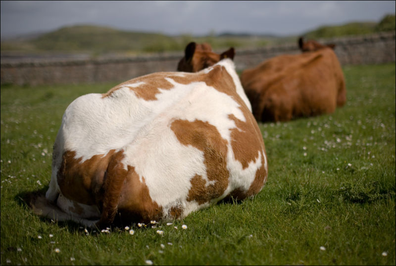 cows resting in a scottish meadow