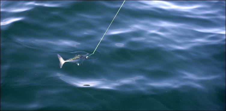 mackerel on a fishing line