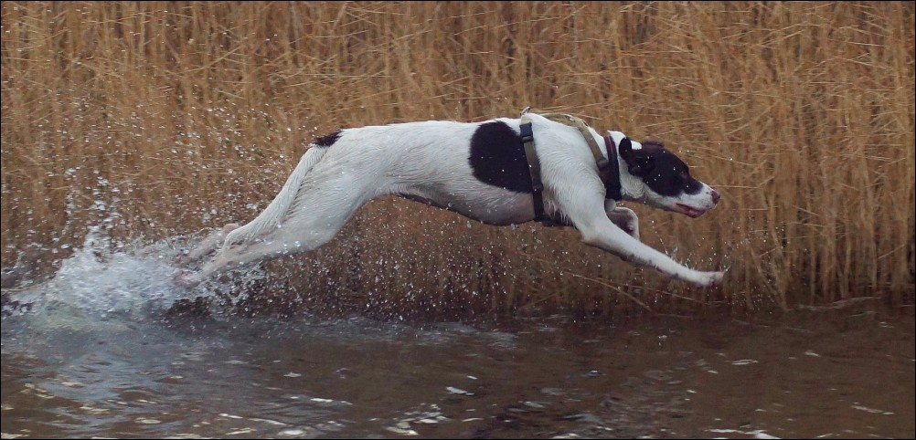 Dog running through a puddle  on an abandoned runw