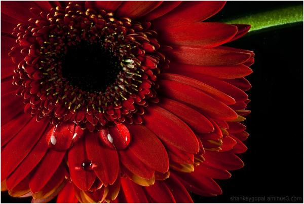 Drops on sunflower