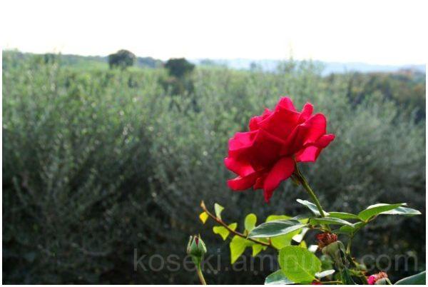 A Rose is still a Rose..