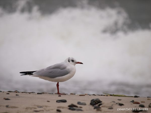 Darß | Gull - Sand - Waves