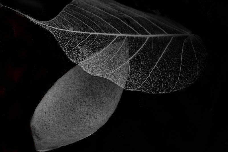still life leaves black and white