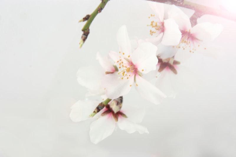 almond tree flowers spring