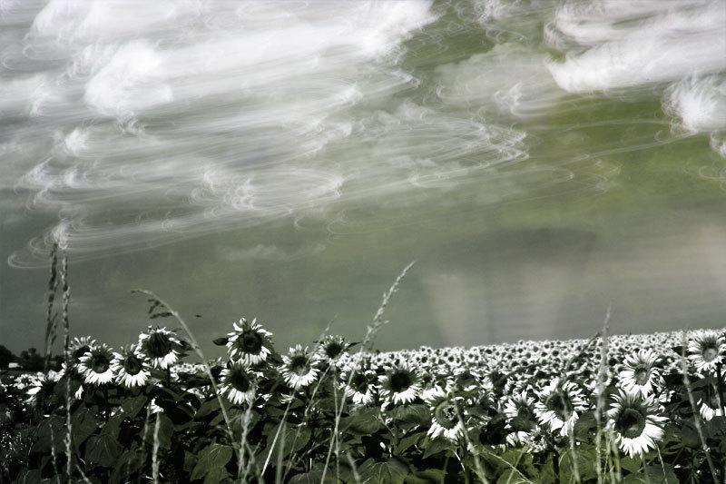 sunflowers tornado