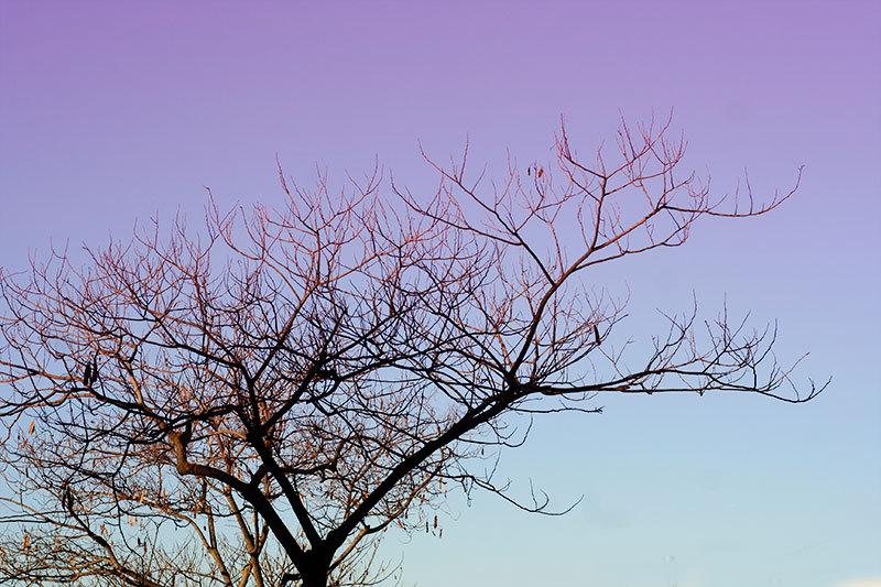 bare tree against morning sky