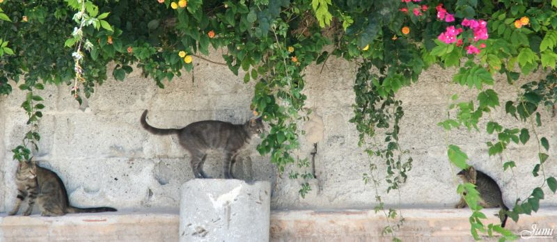 Chats siciliens