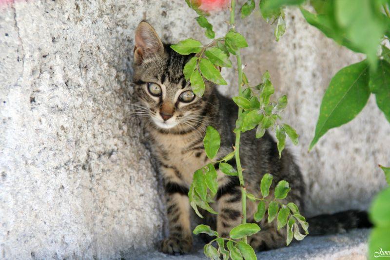 Chat sicilien