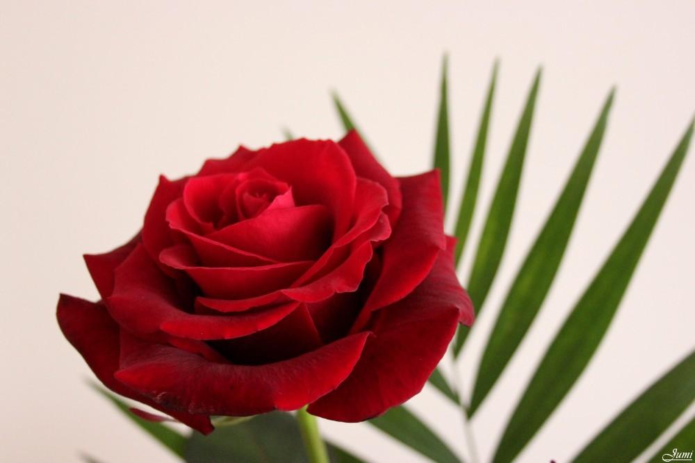 Au nom de la rose 2/4