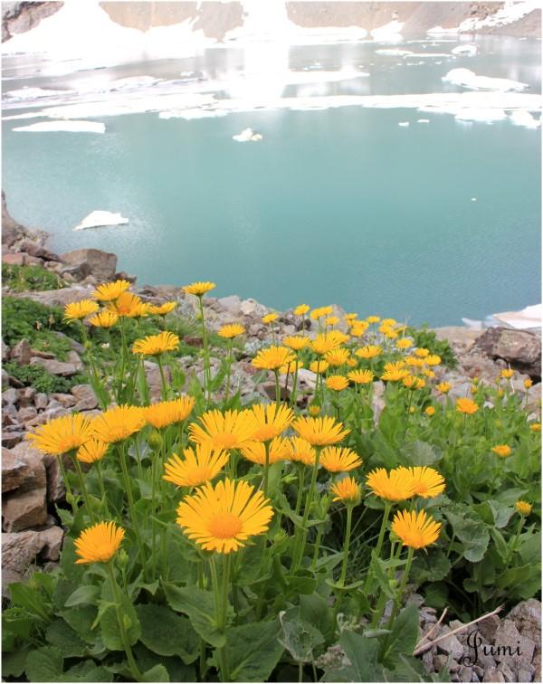 Des doroniques jaunes au bleu arctique du lac
