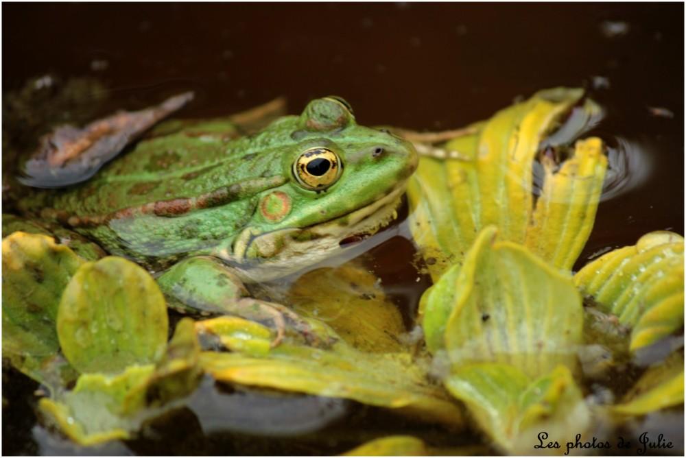 La grenouille aux yeux d'or