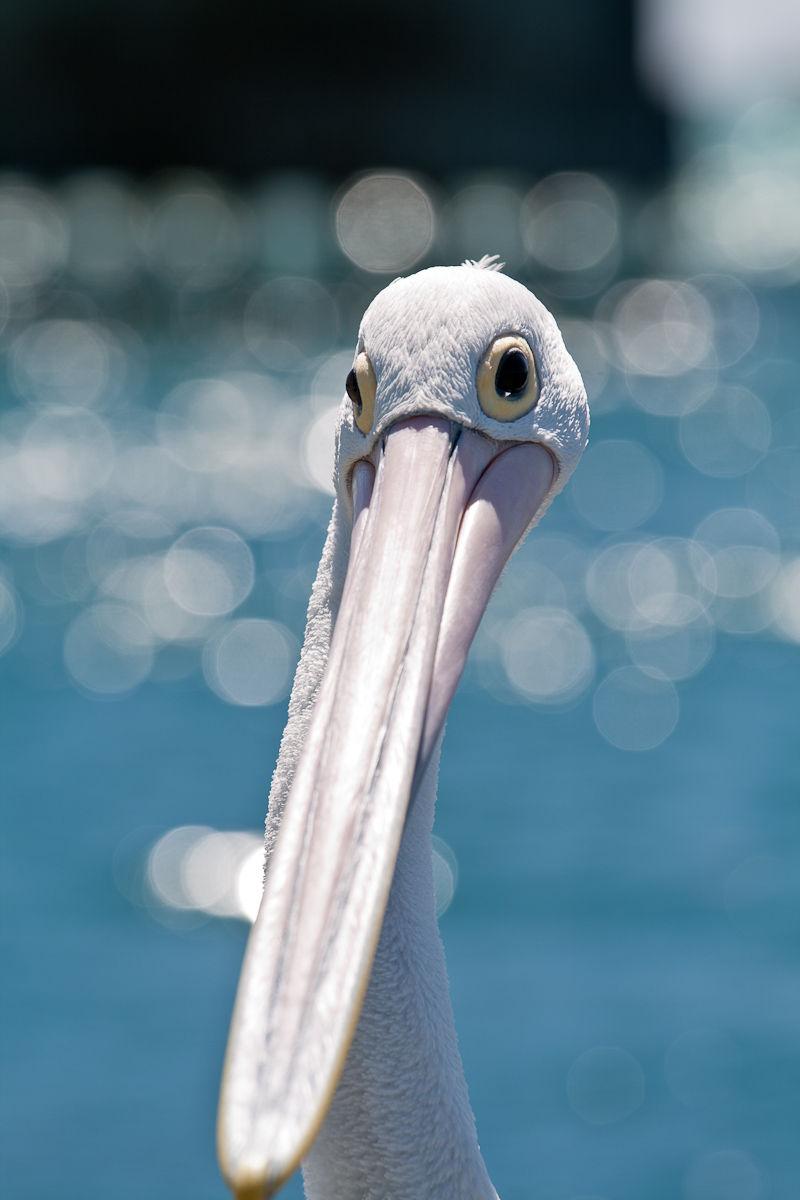 Pelican!