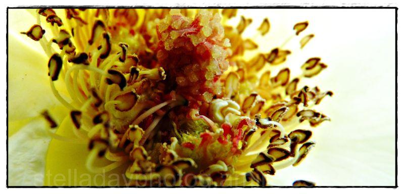Macro yellow rose