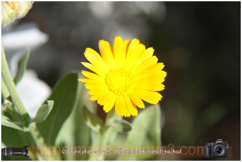 گلی رویایی به زیبایی خورشید