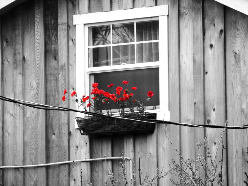 Poppies on a Windowsill